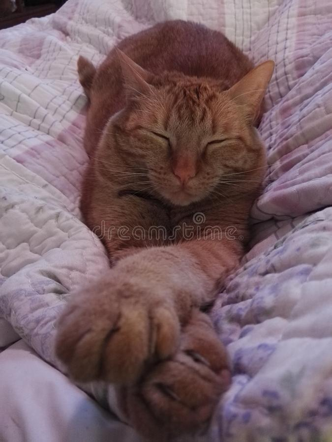Orange female cat with stripes asleep in bed. Orange cat sleeping on the bed with hands close up. Approach of the front legs of a cat. Cat asleep. How to draw royalty free stock photos