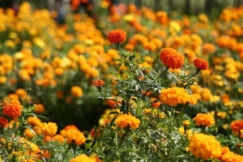 Orange fields royalty free stock photo