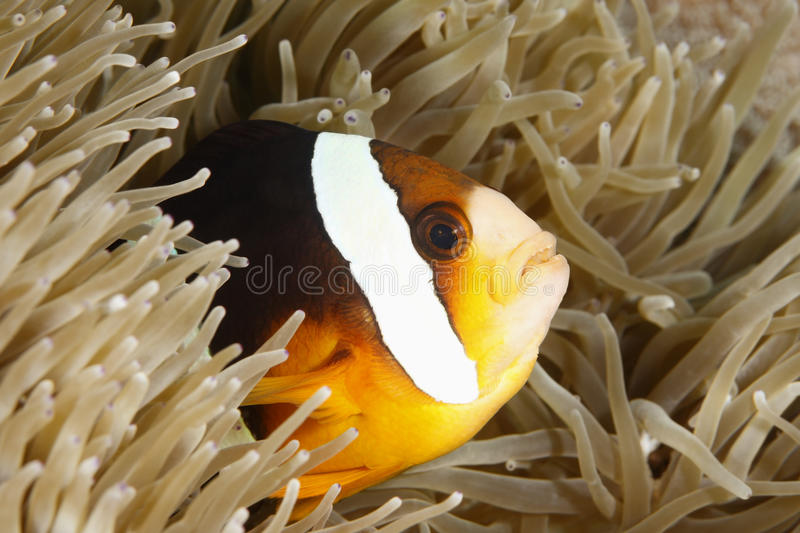Orange-Finned Anemonefish. An orange-finned anemonefish living in the tentacles oif its anemone stock photo