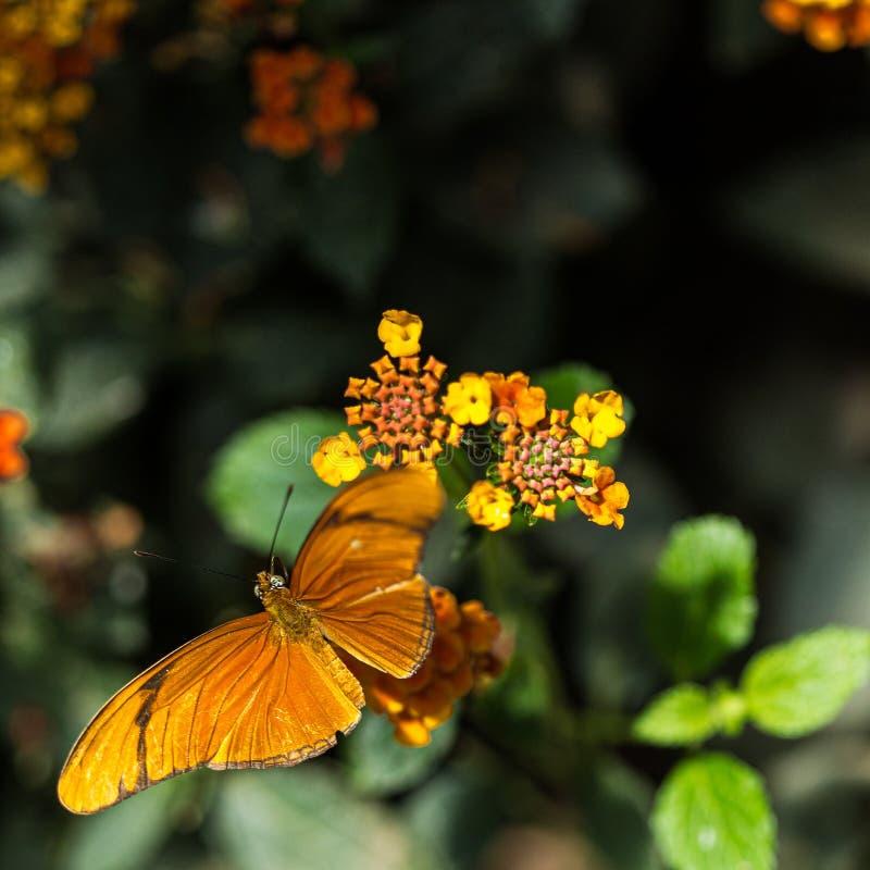 Orange fjäril över gula blommor på en makro fortfarande royaltyfri bild