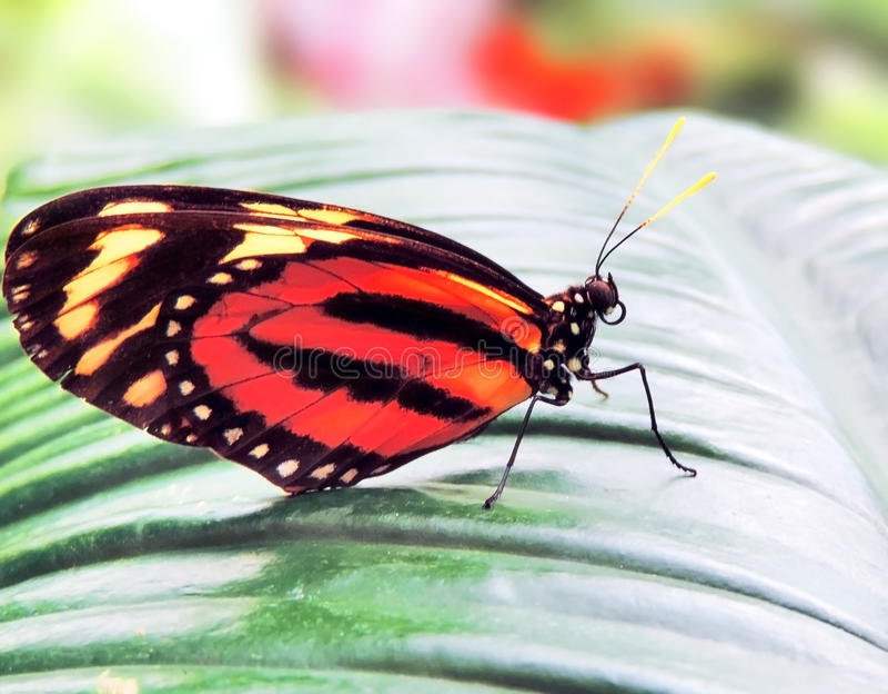 Orange fjäril royaltyfri foto