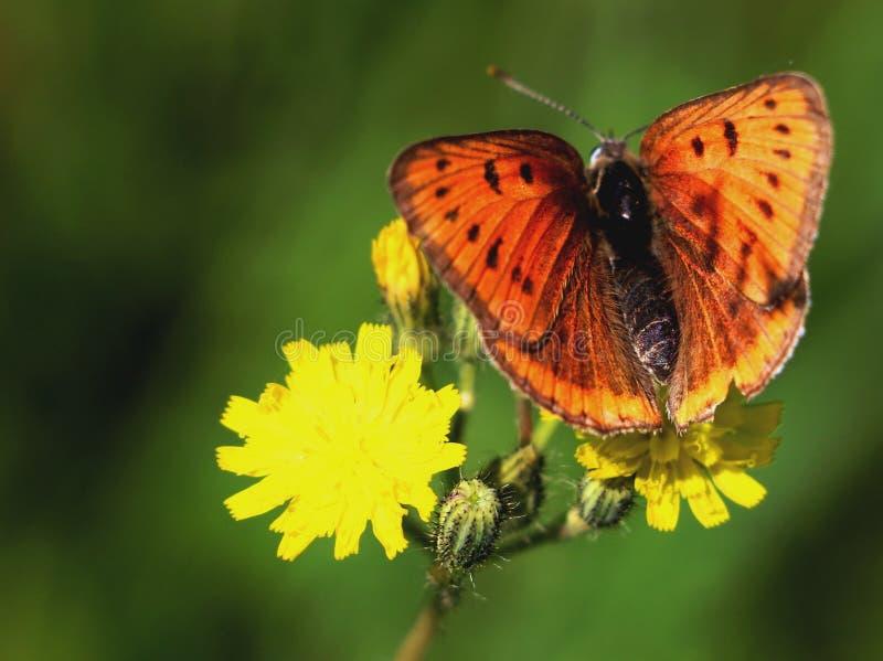 Orange fjäril fotografering för bildbyråer