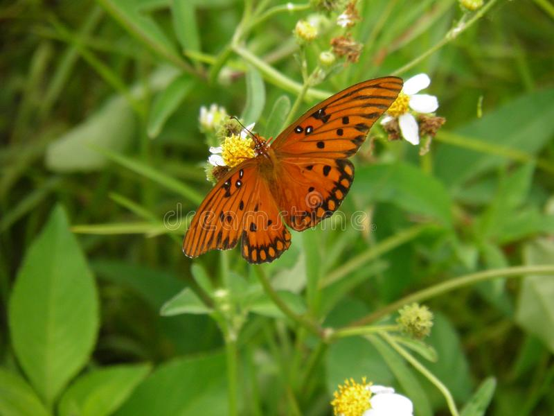 Orange fjäril på blomman i Lakeland, Florida arkivfoton
