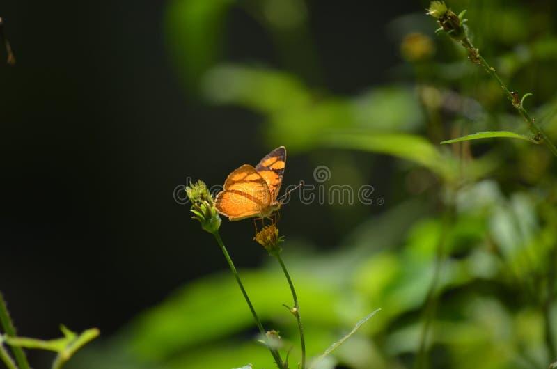 Orange fjäril på en blomma royaltyfria bilder