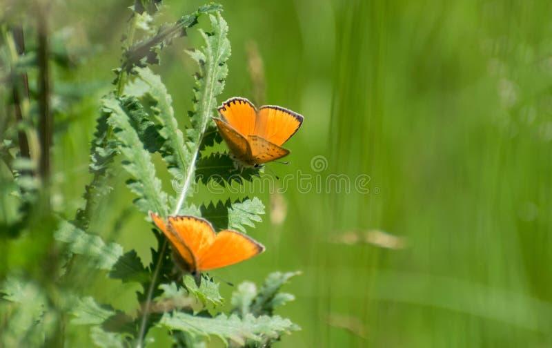 Orange fjäril på en stjälk av gräs royaltyfria bilder