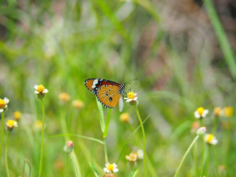 Orange fjäril på guling för gräsblommavit Gör suddig den naturliga bakgrunden i gröna signaler royaltyfri fotografi