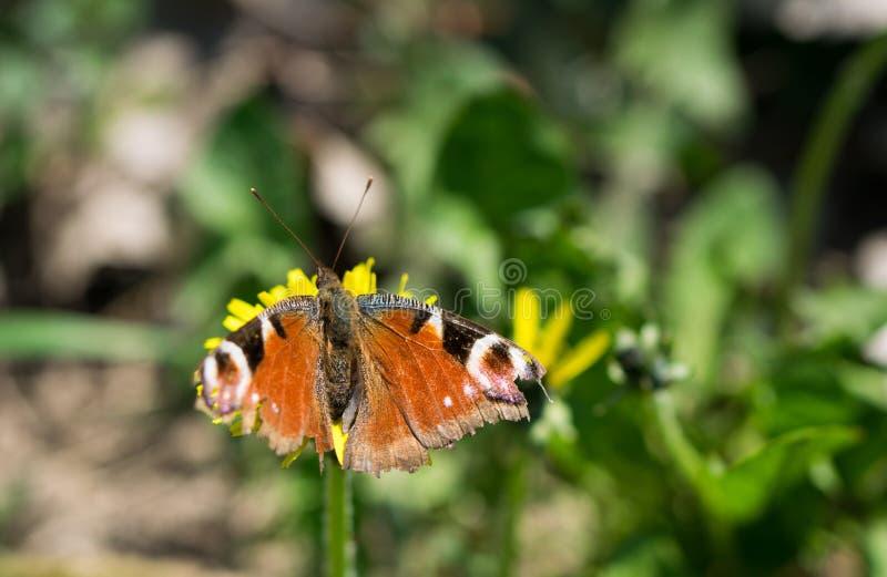 Orange fjärilsanseende på den gula blomman i det gröna fältet royaltyfri foto