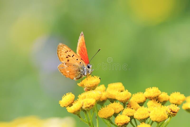 Orange fjärilssammanträde på guling blommar på en sommaräng royaltyfri fotografi