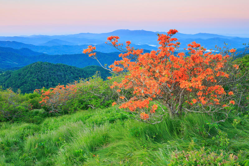 Orange Flame Azalea, Rhododendron Calendulaceum royalty free stock image