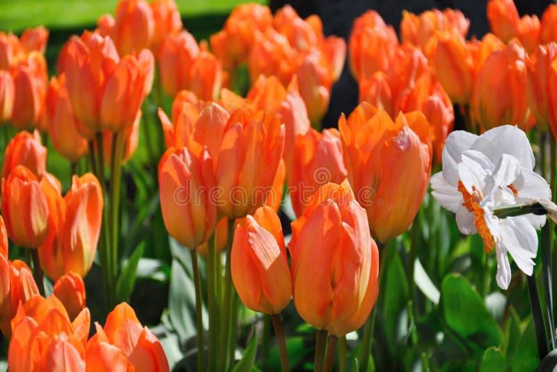 Orange Flame Spring Tulips Keukenhoff Netherlands royalty free stock photos
