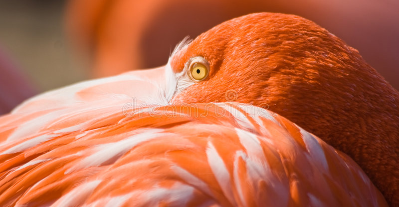 Orange flamingo resting. In afternoon sun with beak between feathers stock photos