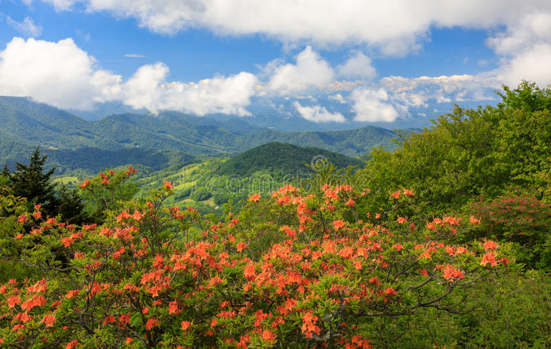 Orange flammaazaleor Roan Mountain Highlands royaltyfri bild