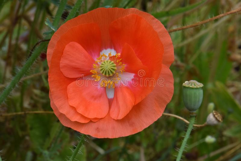 Orange Flanders Poppy Flower in Meadow. Orange petaled Flanders Poppy flower with yellow anther and green stigma in meadow stock image