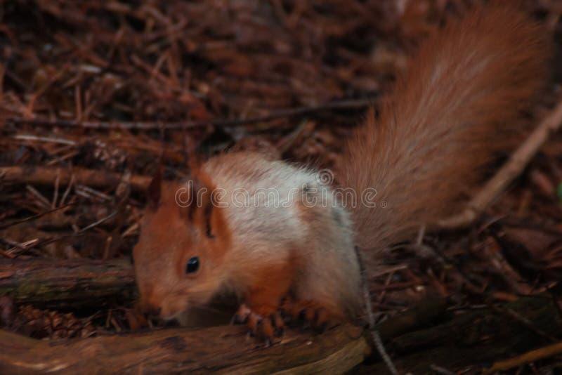 Orange flaumiges Eichhörnchen im Wald, der auf der trockenen Niederlassung sitzt Sciurus, Tamiasciurus stockbild