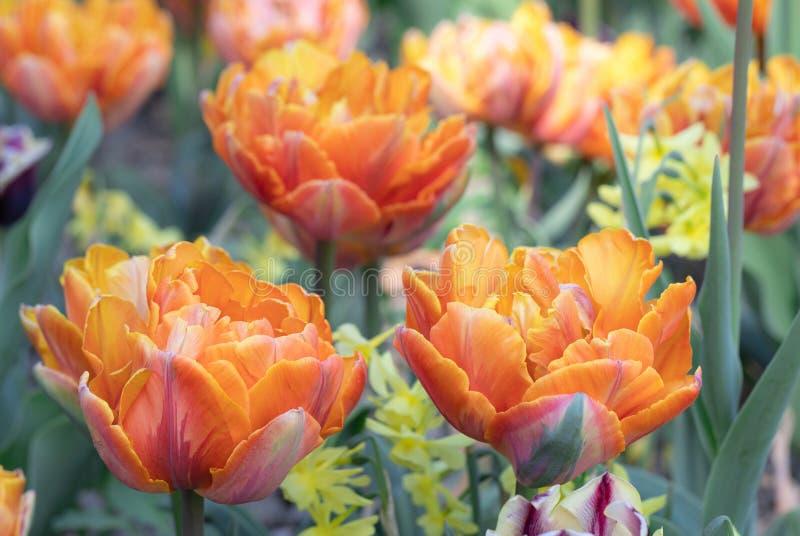 Orange Fleur des tulipes Nature Jardin Flore images libres de droits