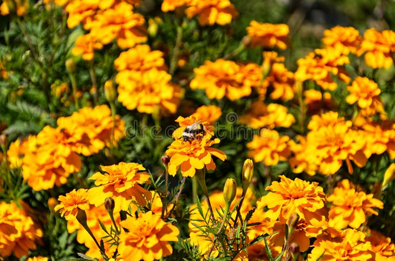Orange floral background. colorful Marigold flowers close-up stock photo