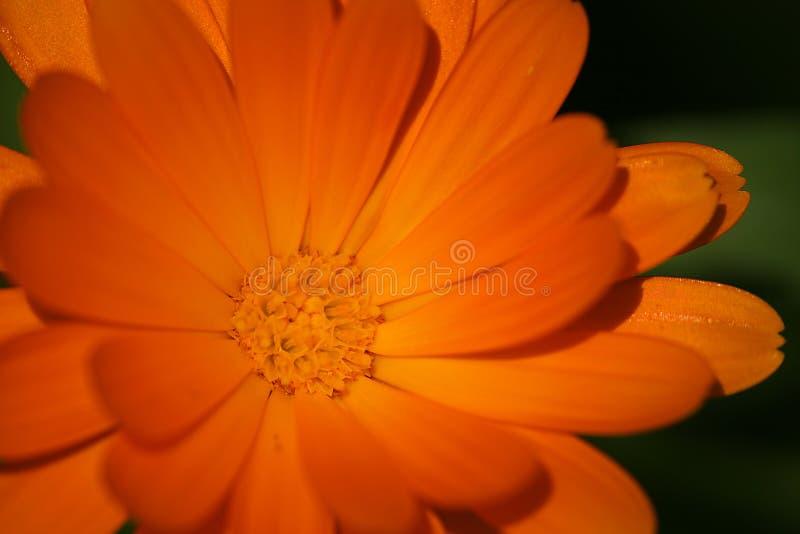Orange flower. A vibrant orange flower stock photos