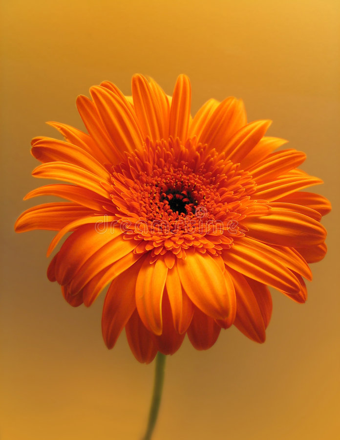 Orange flower royalty free stock images