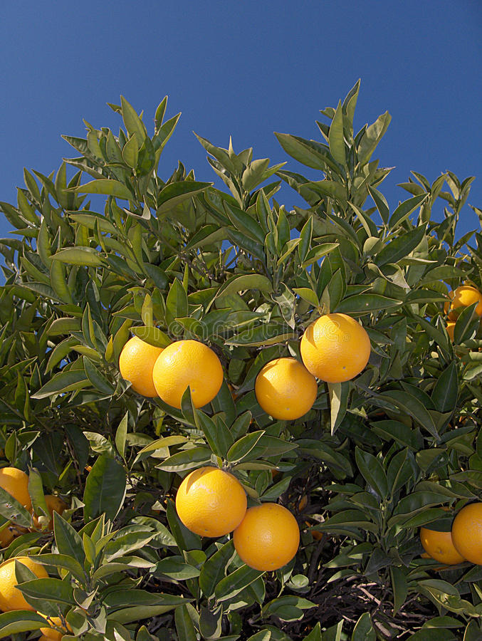 Download Orange with Flower stock photo. Image of fruit, blade - 18005704