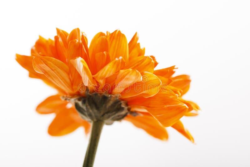 Download Orange Flower stock image. Image of fresh, blossom, closeup - 21196409