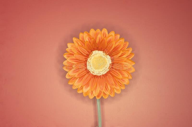 Orange flower 5. Orange flower against a pinkish background stock image