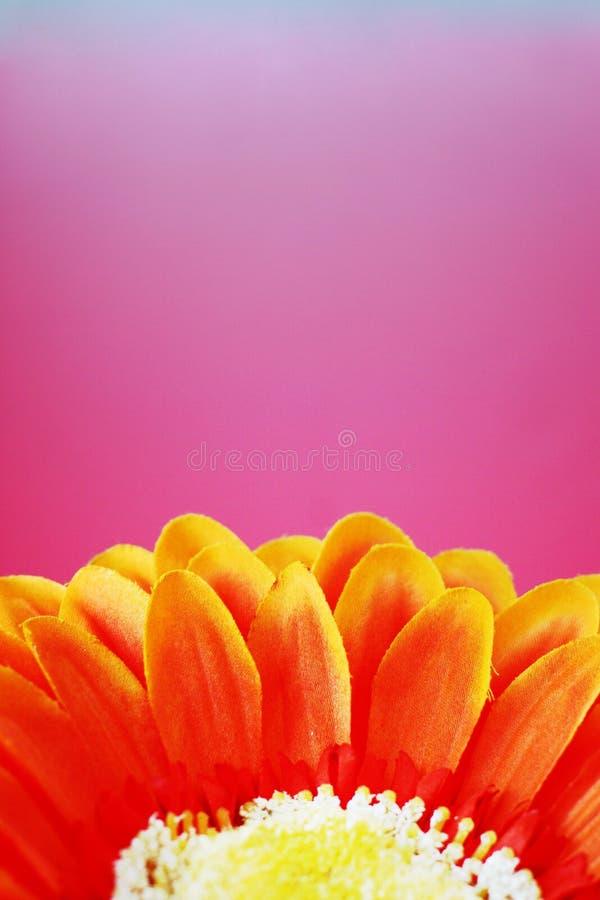 Orange flower 6. Orange flower against a pink background stock images