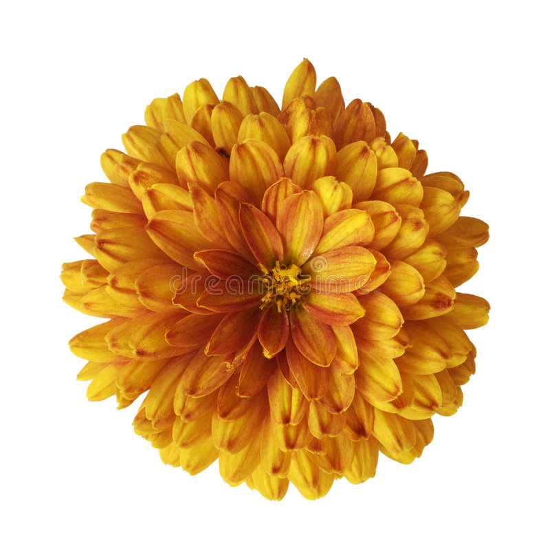 Orange flower. On the white background stock image