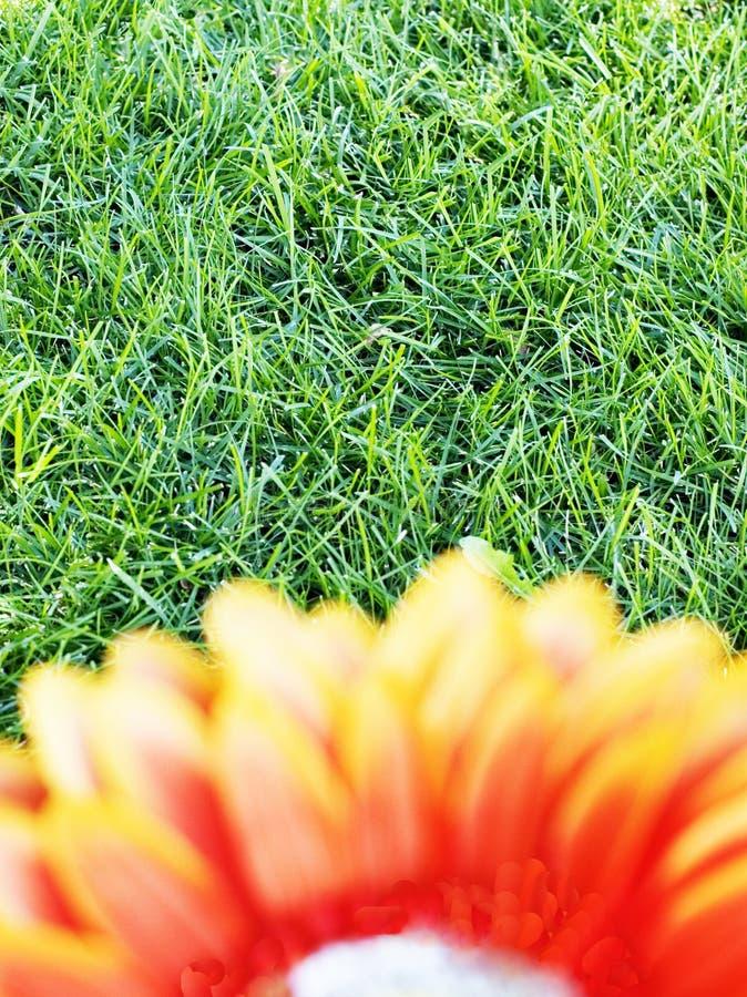 Orange flower 7. Orange flower against a grassy background royalty free stock photography