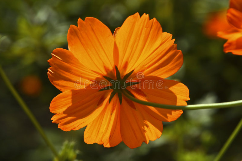 Download Orange Flower from behind stock photo. Image of behind - 4388518