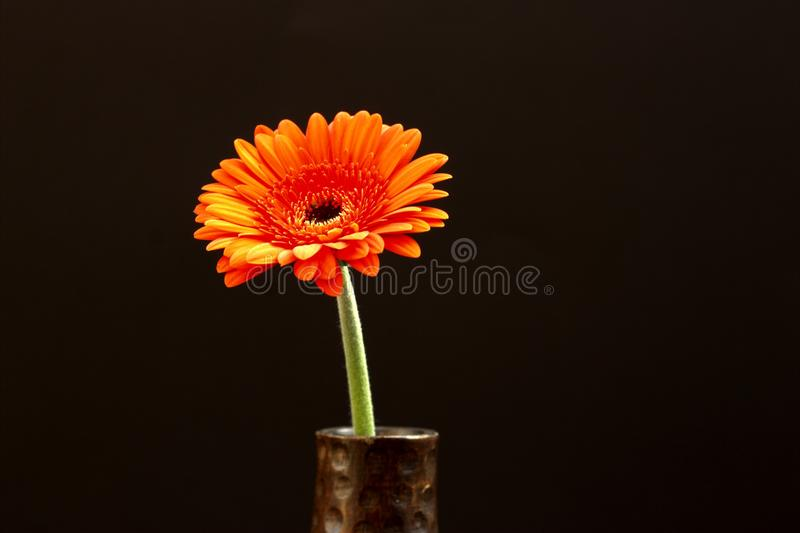 Orange flower in black background royalty free stock photo
