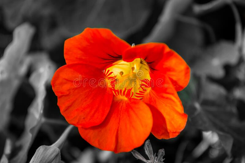Orange flower blossom royalty free stock image