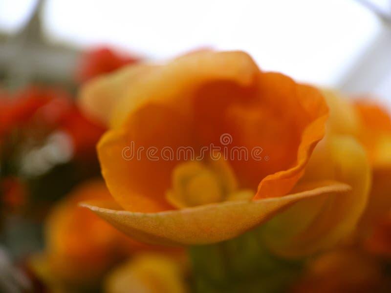 Close up of Orange Flower royalty free stock images