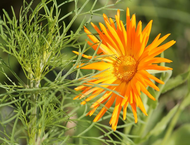 Orange flower of Calendula officinalis or pot marigold. Cultivar with ray petals royalty free stock photography