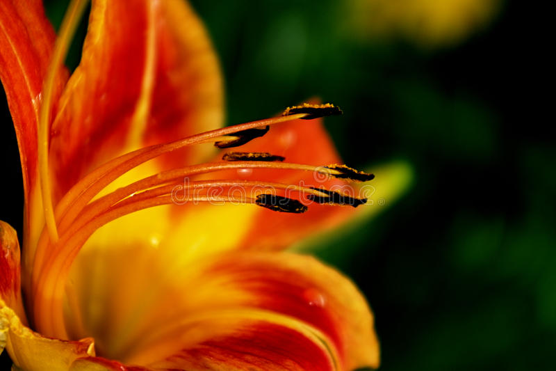 Orange flower. Close-up photo of an orange flower with its anthers royalty free stock image