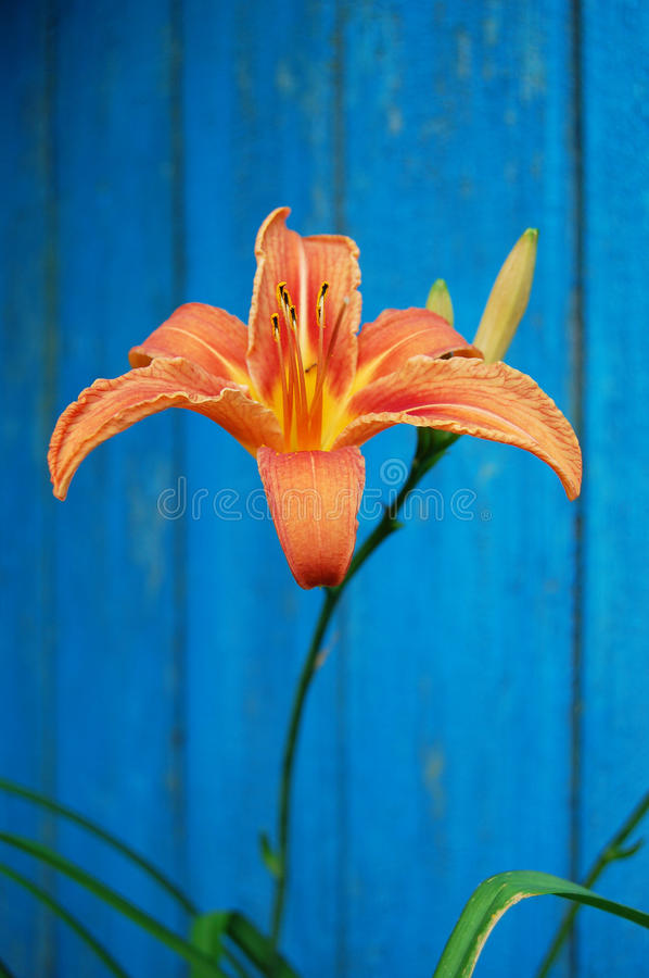 An orange flower on a contrast blue background. orange lily. One orange lily flower. Isolated on blue background. Summer flower decoration stock images
