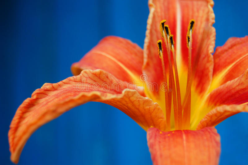 An orange flower on a contrast blue background. orange lily. One orange lily flower. Isolated on blue background. Summer flower decoration stock photography