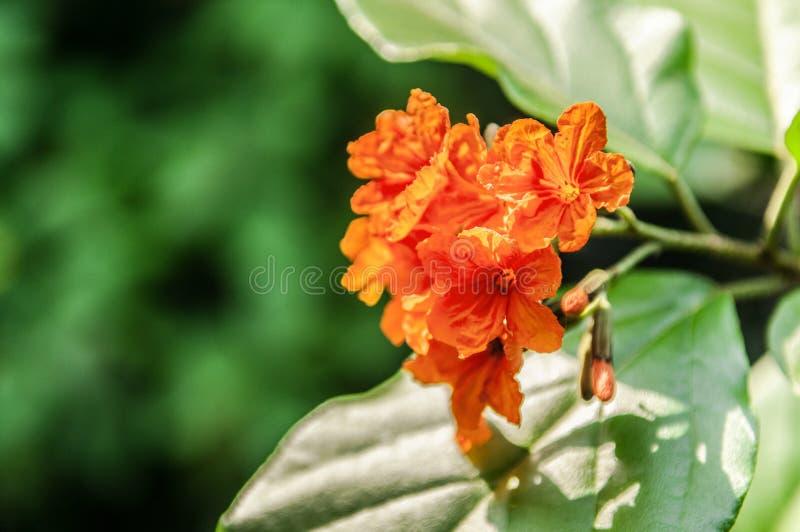 Orange flower of Cordia sebestena or Siricote or Kopte or Scarlet cordia or Geiger tree or Boraginaceae flowers. Close up shot of Cordia sebestena or Siricote stock photos