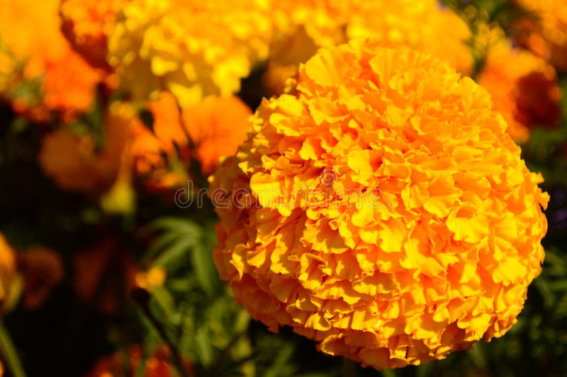 Orange flower in the garden stock photos