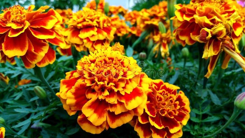 Orange flower on the garden flora mini  22.07.19. 220719 royalty free stock image