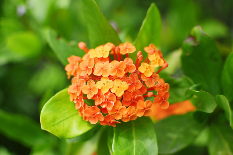 Orange flower green leaves plants royalty free stock images