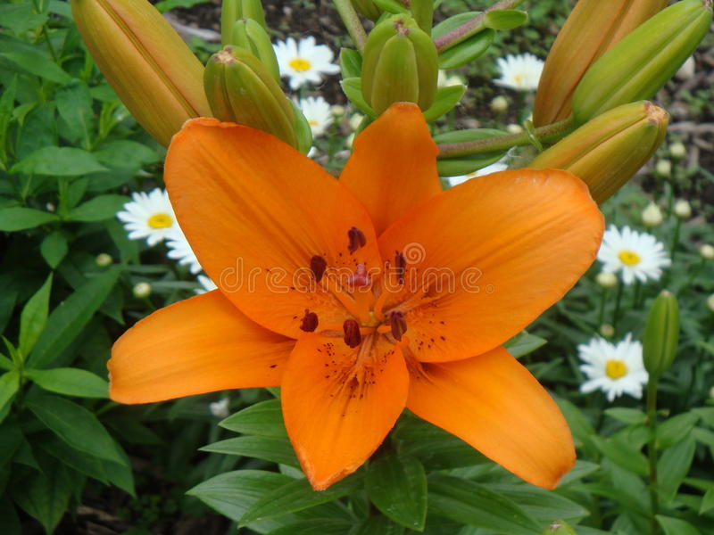 Orange Flower. A Lovely Orange flower from summer that looks beautiful and scentiful royalty free stock images