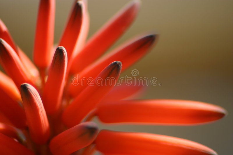 Orange Flower macro stock photos