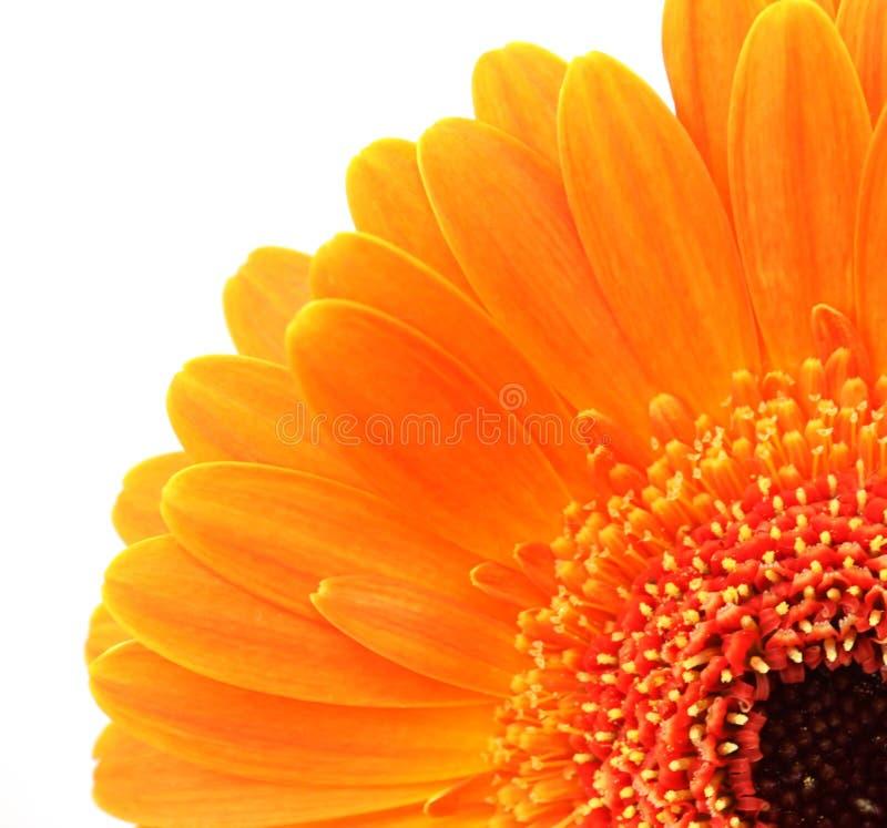 Orange flower. macro royalty free stock photos