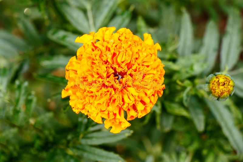 Orange flower marigold on a green background close-up royalty free stock photography