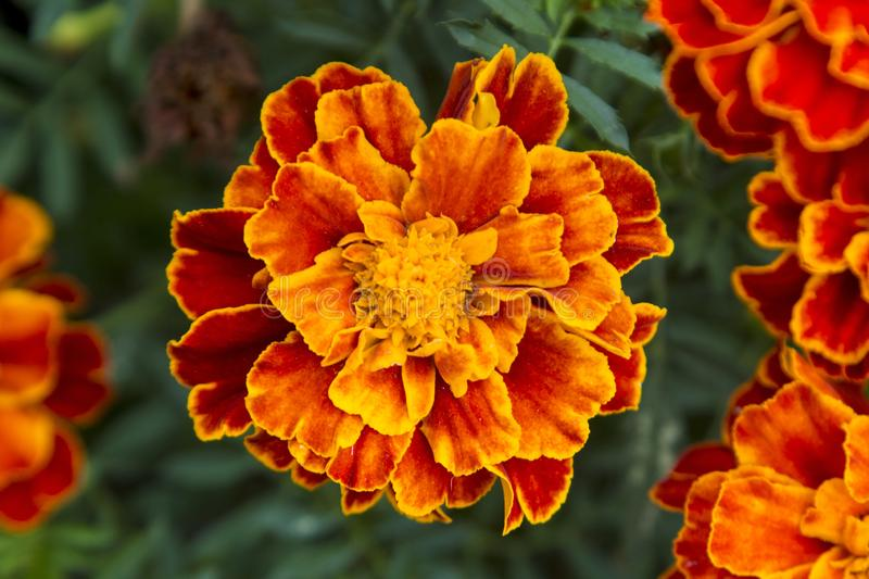 Orange flower. stock image