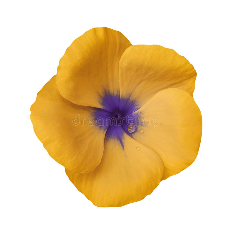 Free Orange Flower On Isolated White Background With Clipping Path. Closeup. Beautiful Orange-violet Flower Violets For Design. Stock Images - 98006134