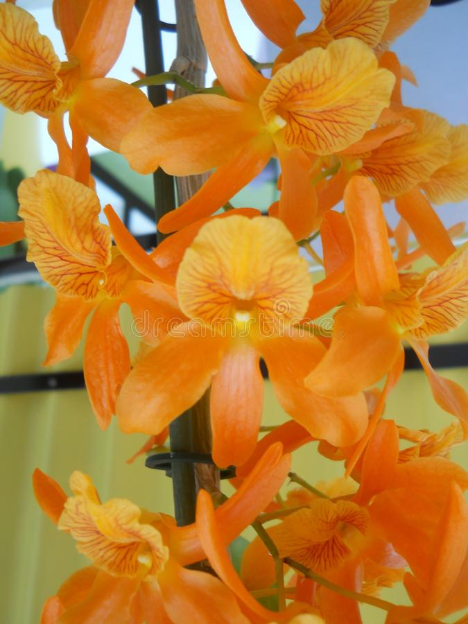 Orange flower orchid yellow red stripes. This is a picture of the flower exhibition in Holland it`s an orchid falling, a group of flowers with different colors royalty free stock photos