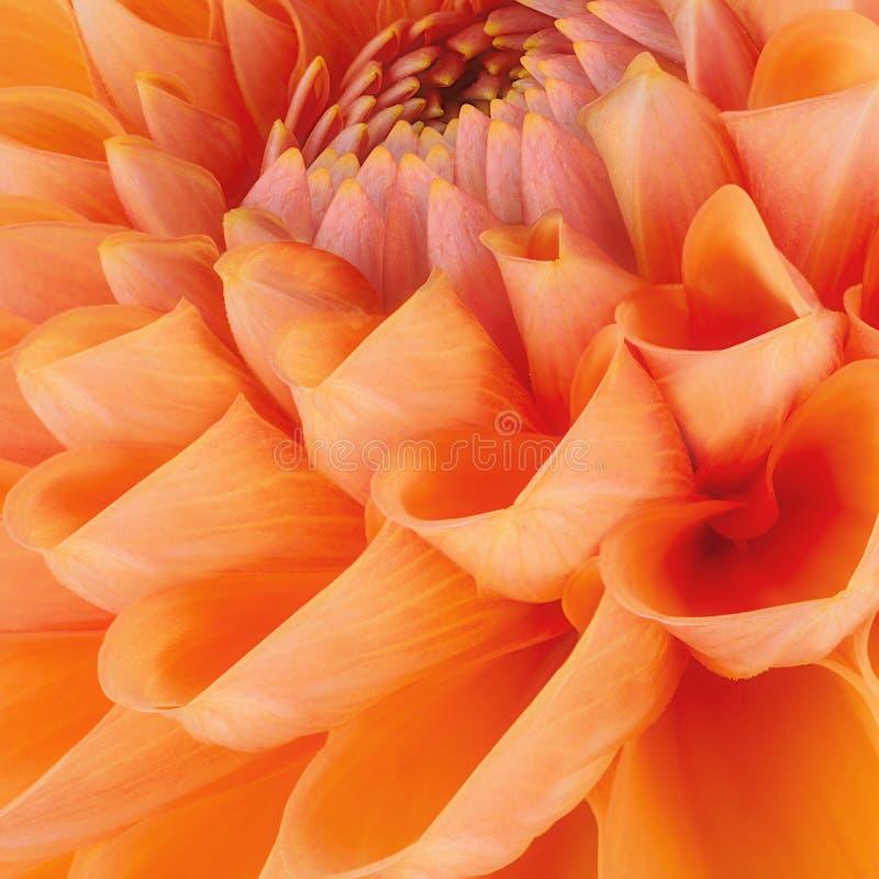 Orange flower petals, close up and macro of chrysanthemum, beautiful abstract background.  stock photo