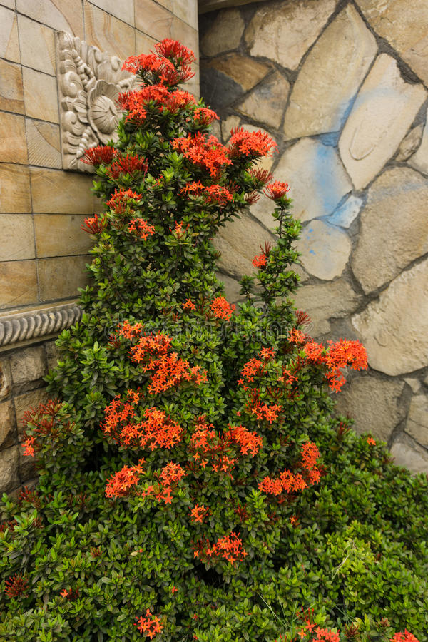 Orange flower plant with green leaves in a corner of a landscape with natural stone textured wall photo taken in Depok. Indonesia java royalty free stock photo