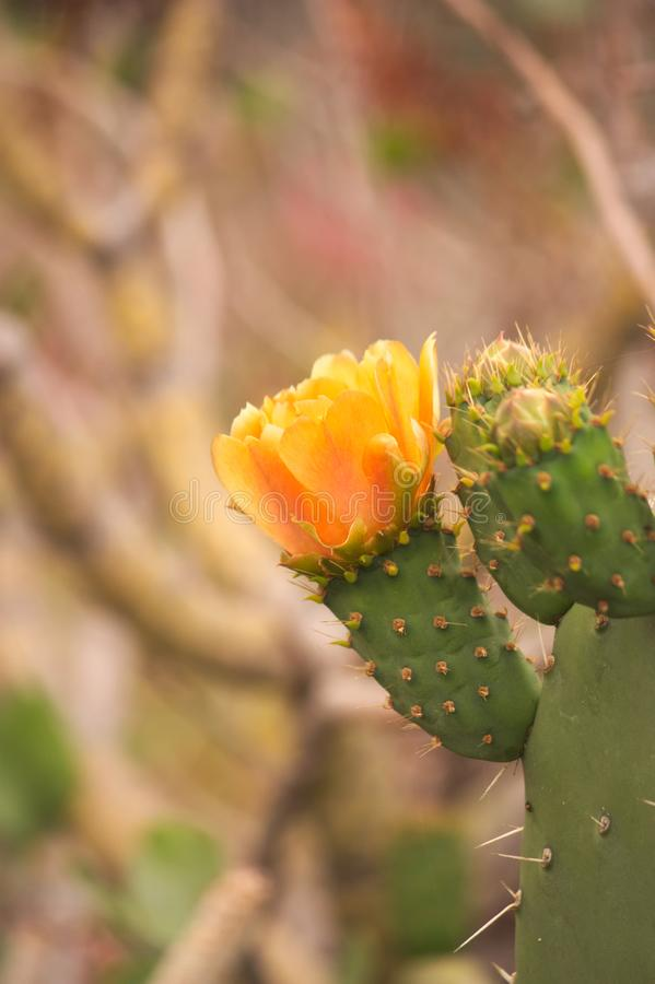 An orange flower of a prickly pear stock photos